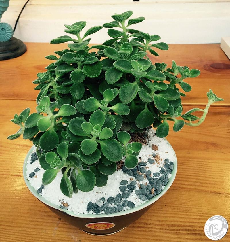 Một số loại cây thích hợp đặt trên bàn làm việc