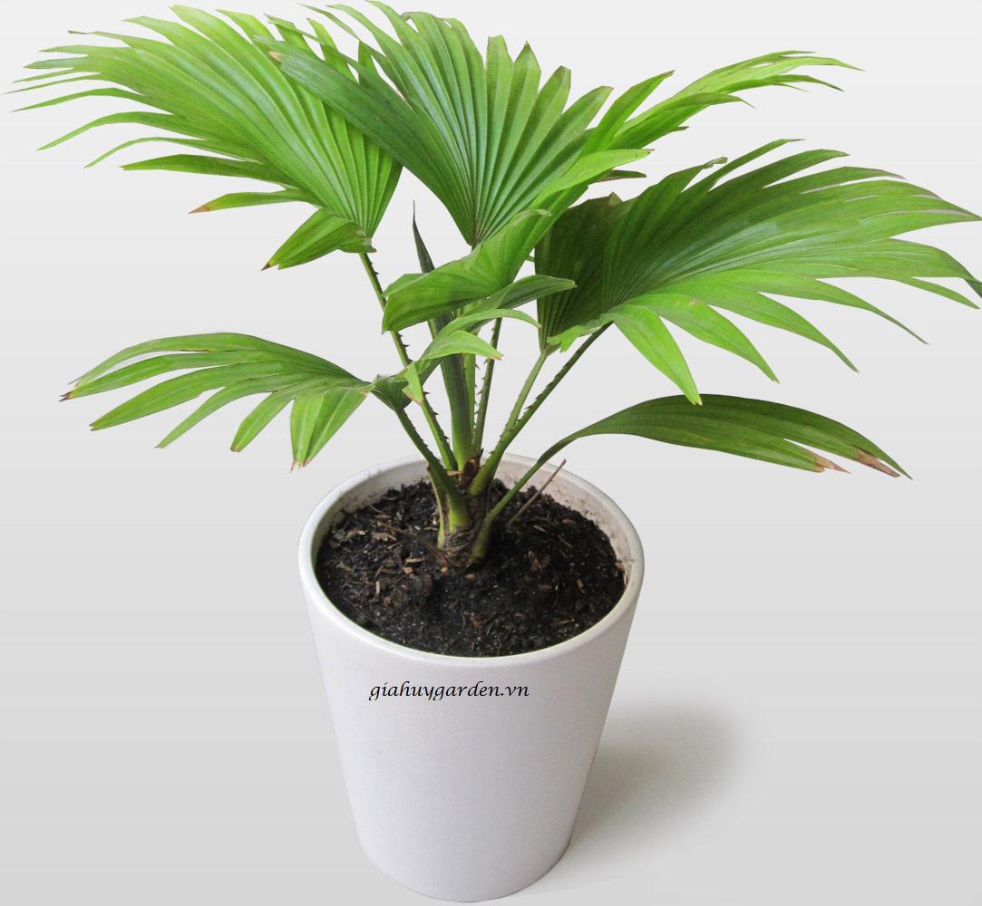 Những loài cây để bàn làm việc rước tài lộc bạn nên sở hữu