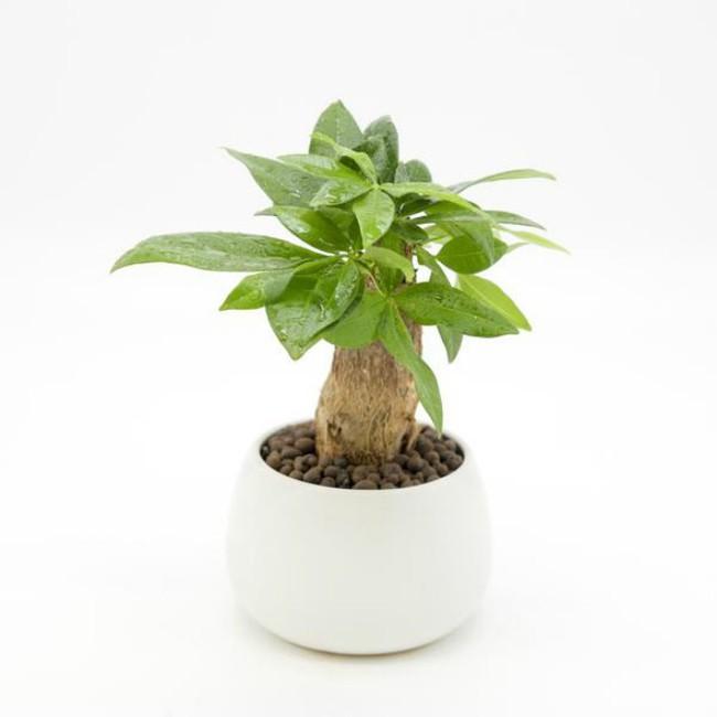 Trên bàn làm việc nên để cây gì để rước tài lộc, tiền tài?